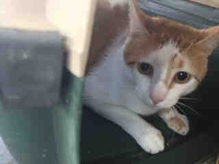 Mix-Bred DOMESTIC SHORTHAIR Male  Adult  Cat #A423210#  Animal Care Services (San Antonio) - click here to view larger pic