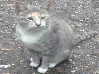 Mix-Bred DOMESTIC SHORTHAIR Female  Young  Kitten #A423806#  Animal Care Services (San Antonio) - click here to view larger pic