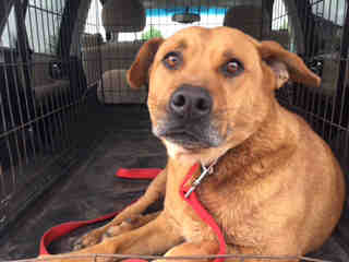 Mix-Bred LABRADOR RETRIEVER Male  Adult  Dog #A424560#  Animal Care Services (San Antonio) - click here to view larger pic