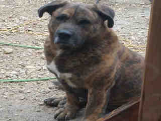 Mix-Bred PLOTT HOUND Male  Adult  Dog #A424774#  Animal Care Services (San Antonio) - click here to view larger pic