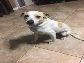 Mix-Bred LABRADOR RETRIEVER Male  Adult  Dog #A426261#  Animal Care Services (San Antonio) - click here to view larger pic