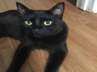 Mix-Bred DOMESTIC SHORTHAIR Male  Young  Kitten #A426600#  Animal Care Services (San Antonio) - click here to view larger pic