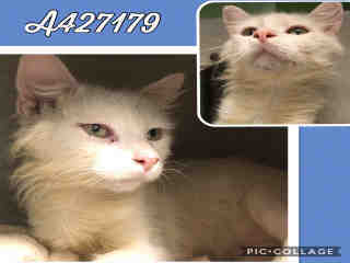 Mix-Bred DOMESTIC SHORTHAIR Male  Young  Kitten #A427179#  Animal Care Services (San Antonio) - click here to view larger pic