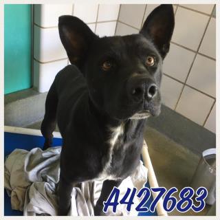 Mix-Bred SHEPHERD Male  Adult  Dog #A427683#  Animal Care Services (San Antonio) - click here to view larger pic