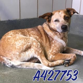 <u> Mix-Bred AUSTRALIAN CATTLE DOG Female  Adult  Dog  (Secondary Breed: BLEND)</u>