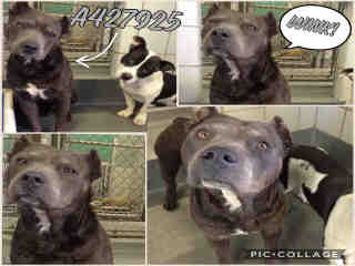 <u> Mix-Bred AMERICAN STAFFORDSHIRE TERRIER Male  Adult  Dog  (Secondary Breed: BLEND)</u>