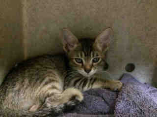 Mix-Bred DOMESTIC SHORTHAIR Female  Young  Kitten #A427968#  Animal Care Services (San Antonio) - click here to view larger pic