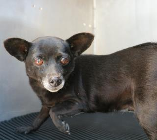 <u>CHIHUAHUA - SMOOTH COATED Female  Adult  Dog </u>