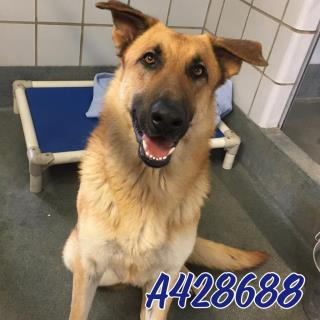 GERMAN SHEPHERD DOG Male  Adult  Dog #A428688#  Animal Care Services (San Antonio) - click here to view larger pic