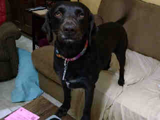 Mix-Bred LABRADOR RETRIEVER Female  Adult  Dog #A428691#  Animal Care Services (San Antonio) - click here to view larger pic