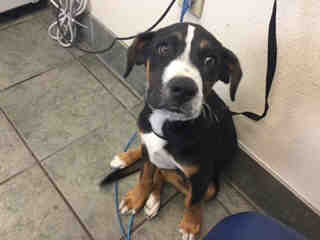<u> Mix-Bred GREATER SWISS MOUNTAIN DOG Male  Young  Puppy  (Secondary Breed: BLEND)</u>