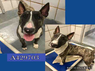 <u>BULL TERRIER Male  Adult  Dog </u>