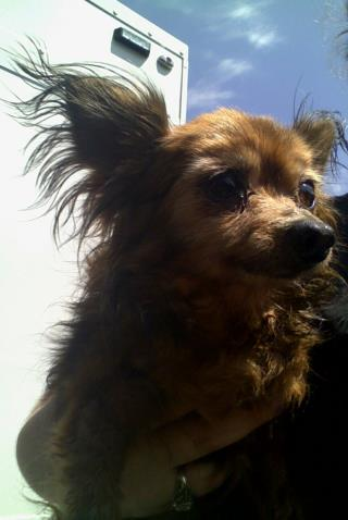 <u>CHIHUAHUA - LONG HAIRED Female  Adult  Dog </u>