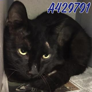 Mix-Bred DOMESTIC SHORTHAIR Male  Adult  Cat #A429791#  Animal Care Services (San Antonio) - click here to view larger pic