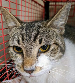Mix-Bred DOMESTIC SHORTHAIR Female  Adult  Cat #A430331#  Animal Care Services (San Antonio) - click here to view larger pic