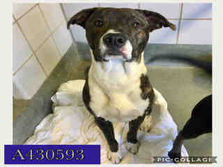 Mix-Bred LABRADOR RETRIEVER Male  Adult  Dog #A430593#  Animal Care Services (San Antonio) - click here to view larger pic