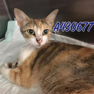 Mix-Bred DOMESTIC SHORTHAIR Female  Young  Kitten #A430677#  Animal Care Services (San Antonio) - click here to view larger pic