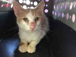 Mix-Bred DOMESTIC SHORTHAIR Male  Young  Kitten #A430851#  Animal Care Services (San Antonio) - click here to view larger pic
