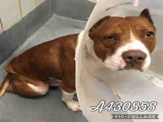 AMERICAN STAFFORDSHIRE TERRIER Male  Adult  Dog #A430858#  Animal Care Services (San Antonio) - click here to view larger pic