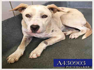 Mix-Bred LABRADOR RETRIEVER Female  Young  Puppy #A430903#  Animal Care Services (San Antonio) - click here to view larger pic