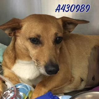 Mix-Bred TERRIER Female  Adult  Dog #A430989#  Animal Care Services (San Antonio) - click here to view larger pic