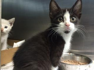 Mix-Bred DOMESTIC SHORTHAIR Male  Young  Kitten #A431056#  Animal Care Services (San Antonio) - click here to view larger pic