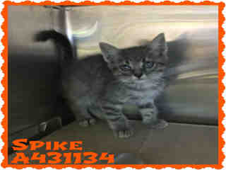 Mix-Bred DOMESTIC MEDIUMHAIR Male  Young  Kitten #A431134#  Animal Care Services (San Antonio) - click here to view larger pic