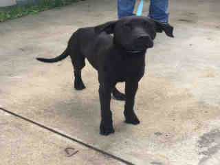 Mix-Bred LABRADOR RETRIEVER Female  Young  Puppy #A431415#  Animal Care Services (San Antonio) - click here to view larger pic