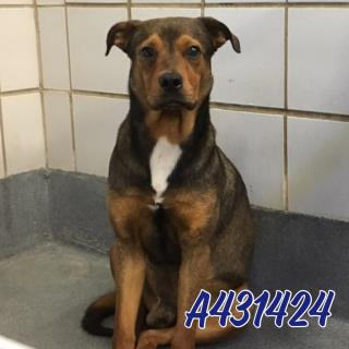 Mix-Bred SHEPHERD Male  Adult  Dog #A431424#  Animal Care Services (San Antonio) - click here to view larger pic