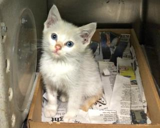 Mix-Bred DOMESTIC SHORTHAIR Male  Young  Kitten #A431465#  Animal Care Services (San Antonio) - click here to view larger pic