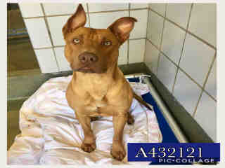 Mix-Bred PIT BULL TERRIER Male  Adult  Dog #A432121#  Animal Care Services (San Antonio) - click here to view larger pic
