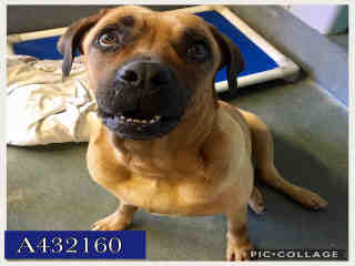 BULLMASTIFF Female  Adult  Dog #A432160#  Animal Care Services (San Antonio) - click here to view larger pic