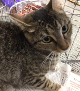 Mix-Bred DOMESTIC SHORTHAIR Female  Adult  Cat #A432267#  Animal Care Services (San Antonio) - click here to view larger pic