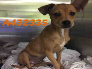 Mix-Bred CHIHUAHUA - SMOOTH COATED Male  Young  Puppy #A432335#  Animal Care Services (San Antonio) - click here to view larger pic