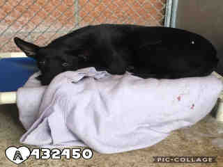 Mix-Bred GERMAN SHEPHERD DOG Female  Adult  Dog #A432450#  Animal Care Services (San Antonio) - click here to view larger pic