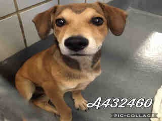 Mix-Bred LABRADOR RETRIEVER Male  Young  Puppy #A432460#  Animal Care Services (San Antonio) - click here to view larger pic