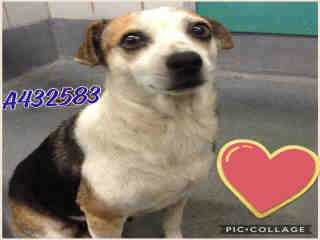 Mix-Bred TERRIER Female  Adult  Dog #A432583#  Animal Care Services (San Antonio) - click here to view larger pic