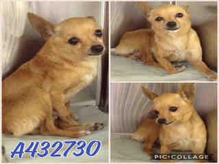 Mix-Bred CHIHUAHUA - SMOOTH COATED Female  Older  Dog #A432730#  Animal Care Services (San Antonio) - click here to view larger pic