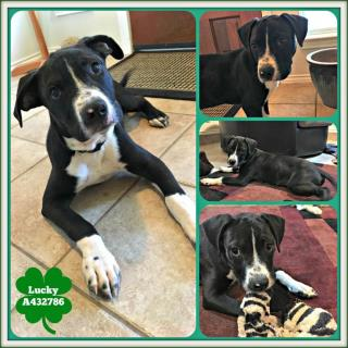 AMERICAN STAFFORDSHIRE TERRIER Male  Young  Puppy #A432786#  Animal Care Services (San Antonio) - click here to view larger pic