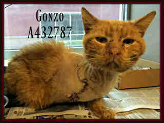 Mix-Bred DOMESTIC SHORTHAIR Male  Adult  Cat #A432787#  Animal Care Services (San Antonio) - click here to view larger pic
