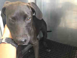Mix-Bred LABRADOR RETRIEVER Female  Young  Puppy #A432835#  Animal Care Services (San Antonio) - click here to view larger pic