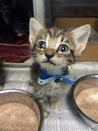 Mix-Bred DOMESTIC SHORTHAIR Male  Young  Kitten #A432841#  Animal Care Services (San Antonio) - click here to view larger pic