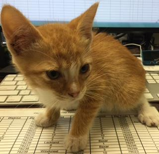 Mix-Bred DOMESTIC SHORTHAIR Female  Young  Kitten #A432917#  Animal Care Services (San Antonio) - click here to view larger pic