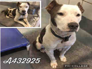 Mix-Bred PIT BULL TERRIER Male  Young  Puppy #A432925#  Animal Care Services (San Antonio) - click here to view larger pic