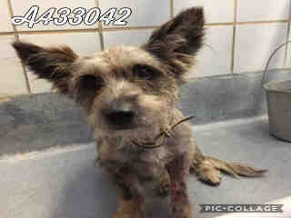 Mix-Bred TERRIER Male  Adult  Dog #A433042#  Animal Care Services (San Antonio) - click here to view larger pic
