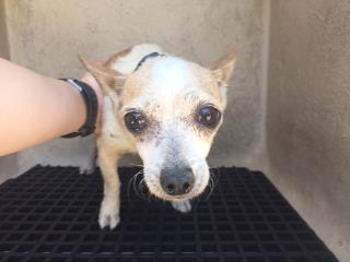 CHIHUAHUA - SMOOTH COATED Female  Adult  Dog #A433073#  Animal Care Services (San Antonio) - click here to view larger pic