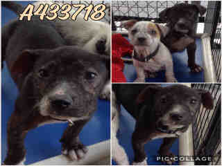 AMERICAN STAFFORDSHIRE TERRIER Female  Young  Puppy #A433718#  Animal Care Services (San Antonio) - click here to view larger pic