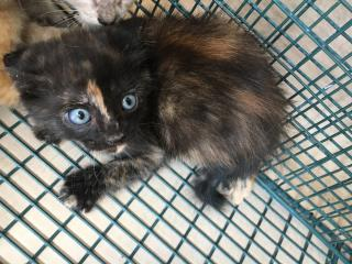 Mix-Bred DOMESTIC SHORTHAIR Female  Young  Kitten #A433743#  Animal Care Services (San Antonio) - click here to view larger pic