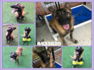 Mix-Bred SHEPHERD Female  Adult  Dog #A433820#  Animal Care Services (San Antonio) - click here to view larger pic