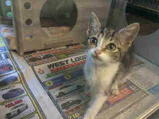 Mix-Bred DOMESTIC SHORTHAIR Female  Young  Kitten #A433886#  Animal Care Services (San Antonio) - click here to view larger pic